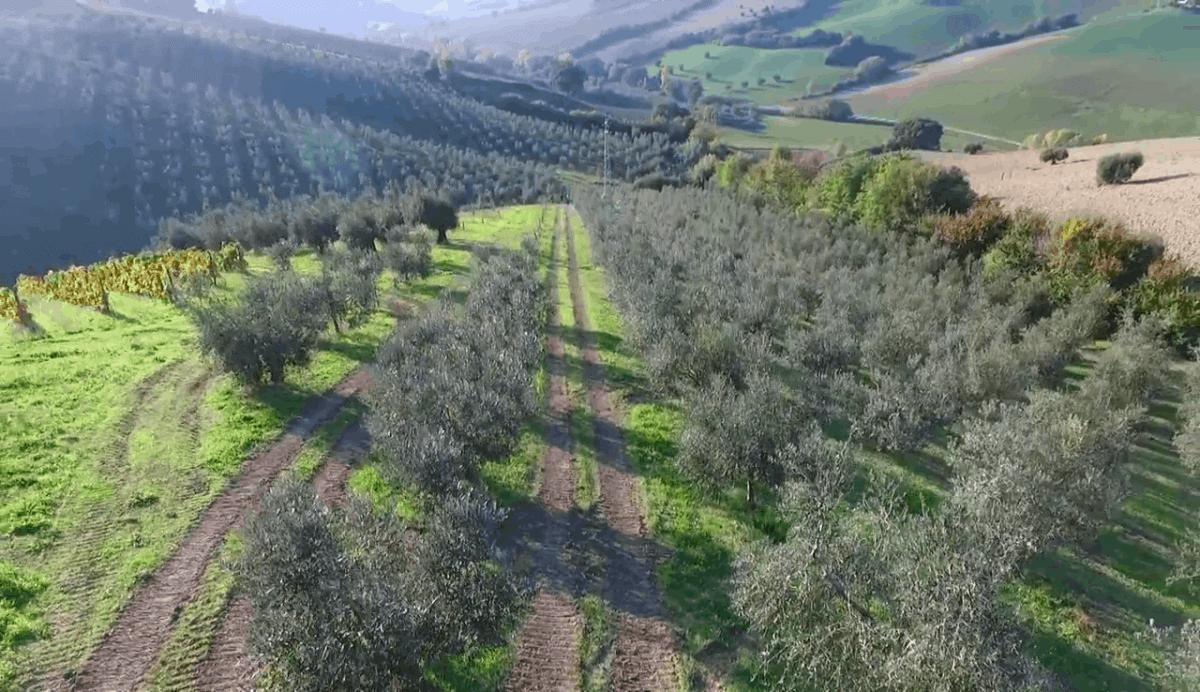 Splendido terreno con 1500 piante di ulivo
